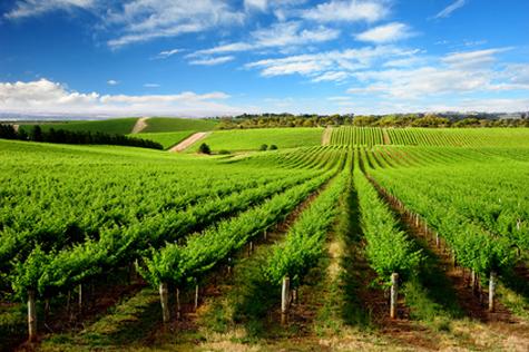 One Tree Hill Vineyard